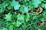Feuersalamander (Salamandra salamandra terrestris)