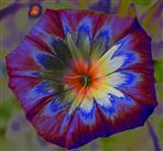 Convolvulus tricolor, Farbvermehrung