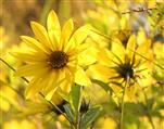 Sonnen - Blüte (Heli-anthus)