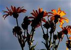 Sonnenblumen und Gewitterwolken im Dialog