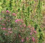 Oleander und Cannabis sativa