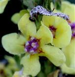 Schwarze Königskerze (Verbascum niger)