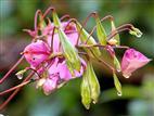 Drüsiges Springkraut (Impatiens glandulifera), taufrisch