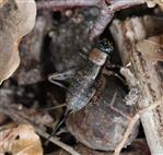 Waldgrille (Nemobius sylvestris) weiblich