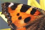 Vorderflügel des Kleinen Fuchses (Aglais urticae)