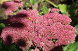 Purpur-Fetthenne (Sedum telephium)