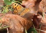 Mauerfuchs (Lasiommata megara)