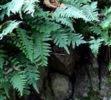 Tüpfelfarn (Polypodium vulgare) an Basaltmauer