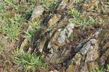 Lebensgemeinschaft Silikatmagerwiese mit Basaltklippen