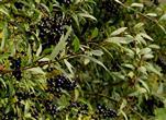Früchte des gemeinen Ligusters (Ligustrum vulgare)