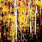 Herbstsonne leuchtet in Birkenwald