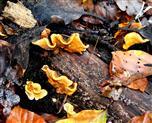 Nicht nur die Blätter sind farbig...(Schwefelporling?)