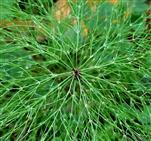 Wald - Schachtelhalm (Equisetum sylvaticum)