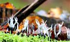 Geweihförmige Koralle (Xylaria hpoxylon)