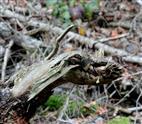 Gewöhnlicher Walddrache (Draco silvarum) verschlingt erbeuteten Ast