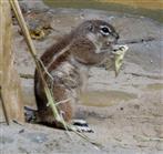 Borstenhörnchen (Xenus inauris) futtert