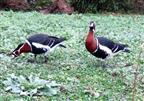 Rothalsgans Paar (Branta ruficollis)