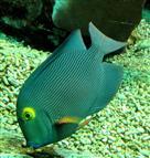 Juveniler Doktorfisch