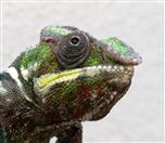 Portrait eines Pantherchamäleons (Furcifer pardalis)
