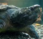 Portrait Geierschildkröte (Macrochelys temminckii)