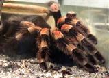 Haarige Angelegenheit: Rotknie-Vogelspinne (Brachypelma smithi)