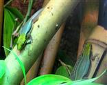 Blaue Bambus - Phelsume (Phelsuma klemmeri)