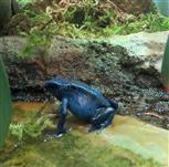 Blauer Baumsteiger (Dendrobates tinctorius)