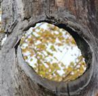 Baum - Auge