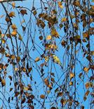 Blaumeise (Parus coeruleus) ernährt sich von Birkensamen