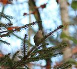 Wintergoldhähnchen (Regulus regulus) sucht Nahrung