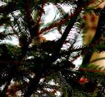 Suchbild: Wo versteckt sich das Wintergoldhähnchen - Weib?