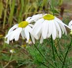 Geruchlose Kamille (Matricaria maritima) mit Novembergast