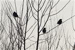 Schattenvögel