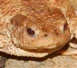 Erdkröte (Bufo bufo)