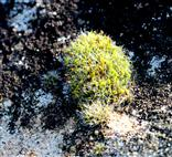 Polster - Kissenmoos (Grimmia pulvinata)