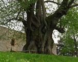 Stamm einer 800 bis 1000 Jahre alten Winterlinde (Tilia cordata)