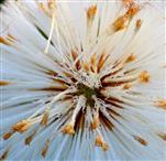 Samenstand des Huflattichs (Tussilago farfara), Ausschnitt
