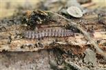 Polydesmus spec. bei seiner Arbeit im Waldboden