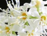 Kirschlorbeer (Prunus laurocerasus) blüht