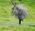 Baum und Wiese blühen um die Wette (Baum gewinnt...)