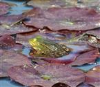 Teichfrosch (rana esculenta) auf seinem Grundstück