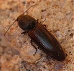 Schnellkäfer (Melanotus spec.?)