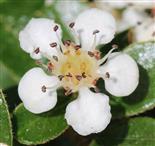Cotoneaster blüht