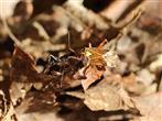 Ameise (Lasius niger) hat Beute gemacht