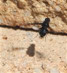 Trauerschweber (Hemipenthes maura) und sein Schatten