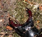 Hirschkäfer Mann (Lucanus cervus) spreizt drohen die Kiefer