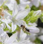 Glockenblumen-Sägehornbiene im Anflug (Melitta haemorrhoidalis)