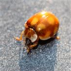 Licht - Marienkäfer (Calvia decemguttata) putzt sich den Fuß