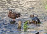 Stockente und Sumpfschildkröte (Emys orbicularis) in friedlicher Nachbarschaft