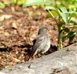 Gartenrotschwanz (Phoenicurus phoenicurus), weiblicher Jungvogel
